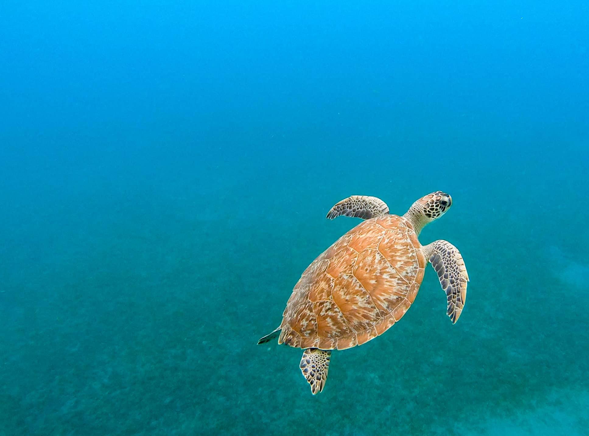 plongée-tortue-ilet-pigeon-reserve-cousteau-basse-terre-guadeloupe